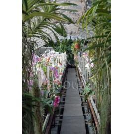 prix orchid e achat d 39 orchid es prix abordable l 39 orchid e. Black Bedroom Furniture Sets. Home Design Ideas