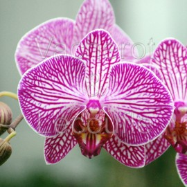 Phalaenopsis Malibu Stripe
