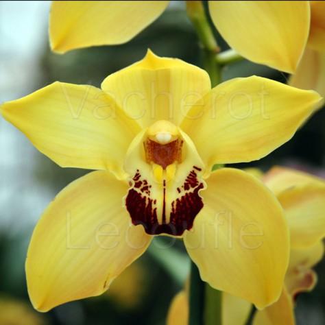 fiche de culture de l 39 orchid e cymbidium vente fiches conseils par genres d. Black Bedroom Furniture Sets. Home Design Ideas