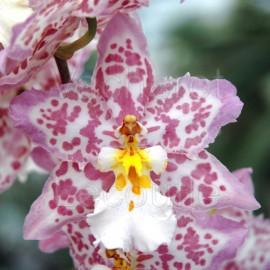Fiche de culture de l'orchidée CAMBRIA (Odontoglossum),  Burrageara, Cochlioda, Colmanara, Odontioda, Odontonia, Vuylstekeara
