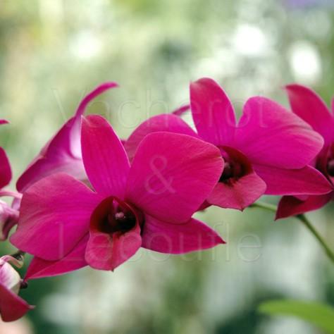 Fiche de culture de l'orchidée DENDROBIUM PHALAENOPSIS