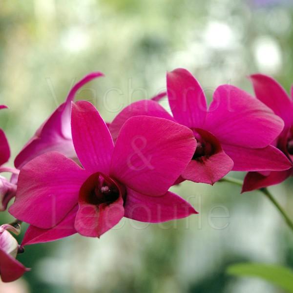 Fiche de culture de l 39 orchid e dendrobium phalaenopsis vente fiches conseils - Symbole de l orchidee ...