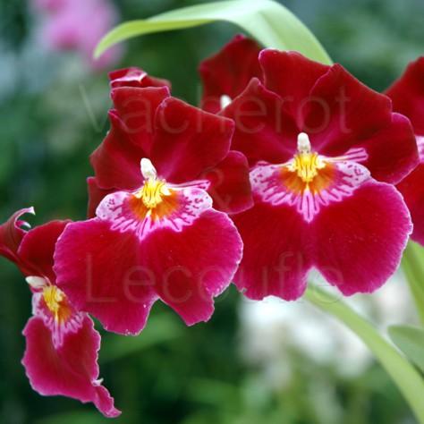 Fiche de culture de l 39 orchid e miltoniopsis - Entretien de l orchidee ...
