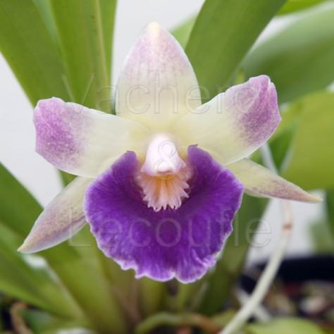Fiche de culture de l'orchidée PESCORANTHES