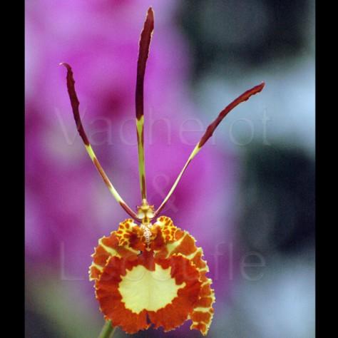 Fiche de culture de l 39 orchid e psychopsis vente fiches conseils par genres d - Symbole de l orchidee ...
