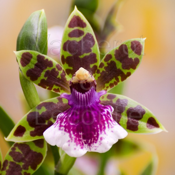 Fiche de culture de l 39 orchid e zygopetalum vente fiches conseils par genres d - Arrosage orchidee d interieur ...