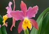 Cattleya Stradivarius 'Eclipse' (Lc.)