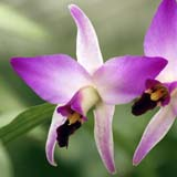 Lelia anceps var. dawsonii subvar. chilapensis
