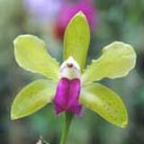 Cattleya bicolor 'Green Magic'
