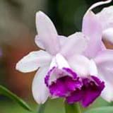 Cattleya intermedia orlata 'Rio'