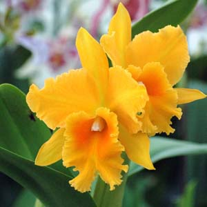 Cattleya Hwa_Yuan_Gold - Orchidées Vacherot & Lecoufle