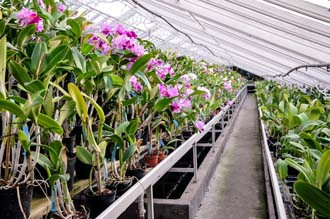 Collection d'orchidées Cattleya - Orchidées Vacherot et Lecoufle