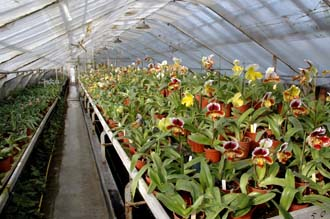 Collection d'orchidées Paphiopedilum - Orchidées Vacherot et Lecoufle