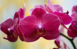 Phalaenopsis Cannes