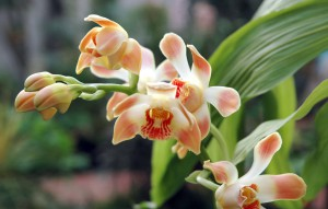 Chysis Chelsonii