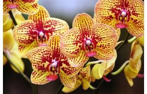 Phalaenopsis Elegant Karin Aloha