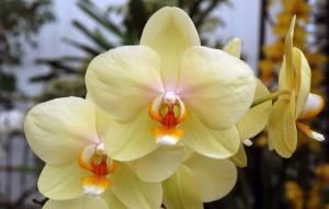 Phalaenopsis Golden Embers