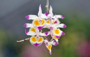 Dendrobium devonianum