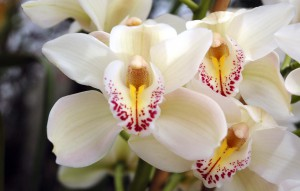 Cymbidium California 'Cascade'