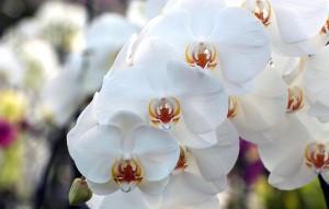 Phalaenopsis Crème Chantilly